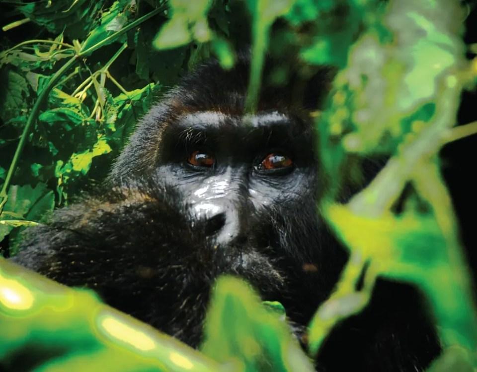 Rwanda Uganda Gorilla Trek - Silverback Ndahura of the Bitukura family