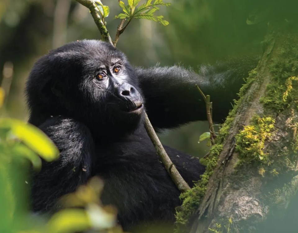 Uganda tour Destinations-Nshongi Gorilla Group Bwindi