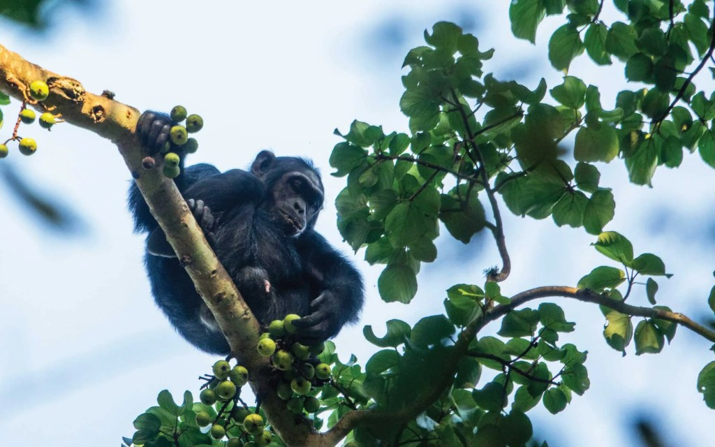Ultimate Uganda Rwanda Safari in Kibale Forest National Park