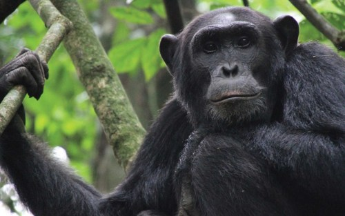 Kibale Forest Bonobo Chimp