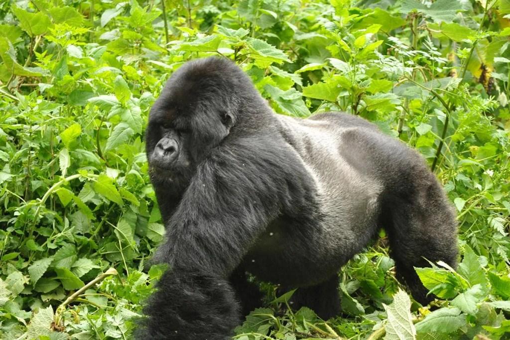 The ultimate gorilla trekking experience in Uganda
