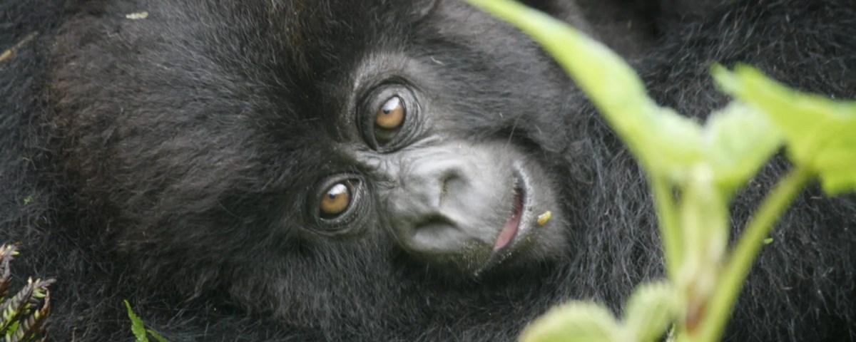 Uganda Gorillas; Why you should visit them