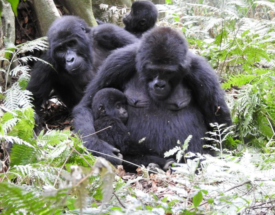 Mountain Gorilla Census Bwind Forest-Uganda & Virunga Massif