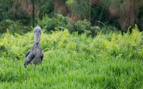 Shoebill uganda birding safari in Murchison