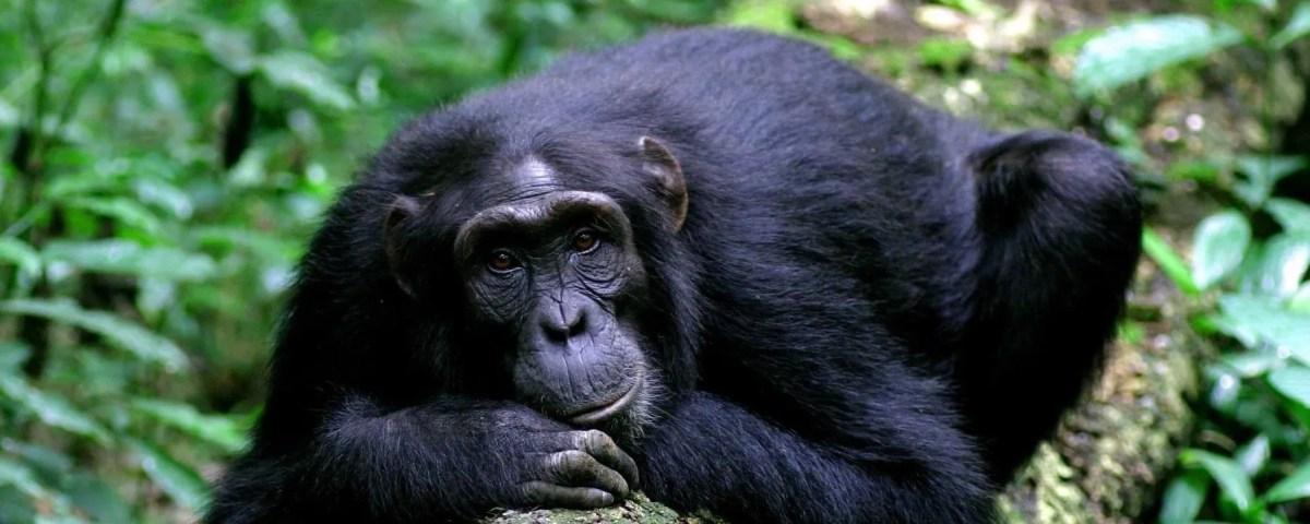 Chimpanzee trekking in Kyambura gorge-Queen Elizabeth national park