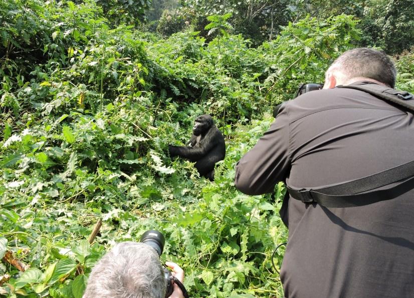gorilla trekking in Uganda and Rwanda comparing