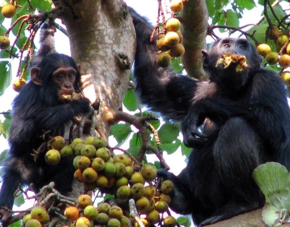 chimpanzee Habituation Experience-Gorilla Safari Experts Uganda