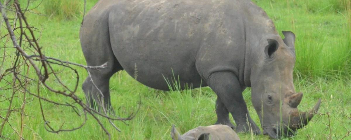 Rhino Tracking in Uganda, Ziwa Sancturary