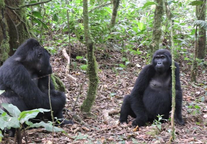 Moutain Gorilla Filming Tours-Gorilla Safari Experts Uganda