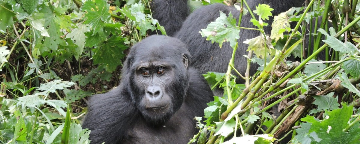 How much does it cost to see gorillas? Tour cost, Gorilla Safaris in Africa