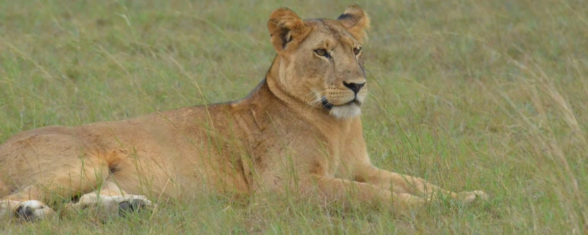 Lion Tracking Experience in Queen Elizabeth National Park Uganda