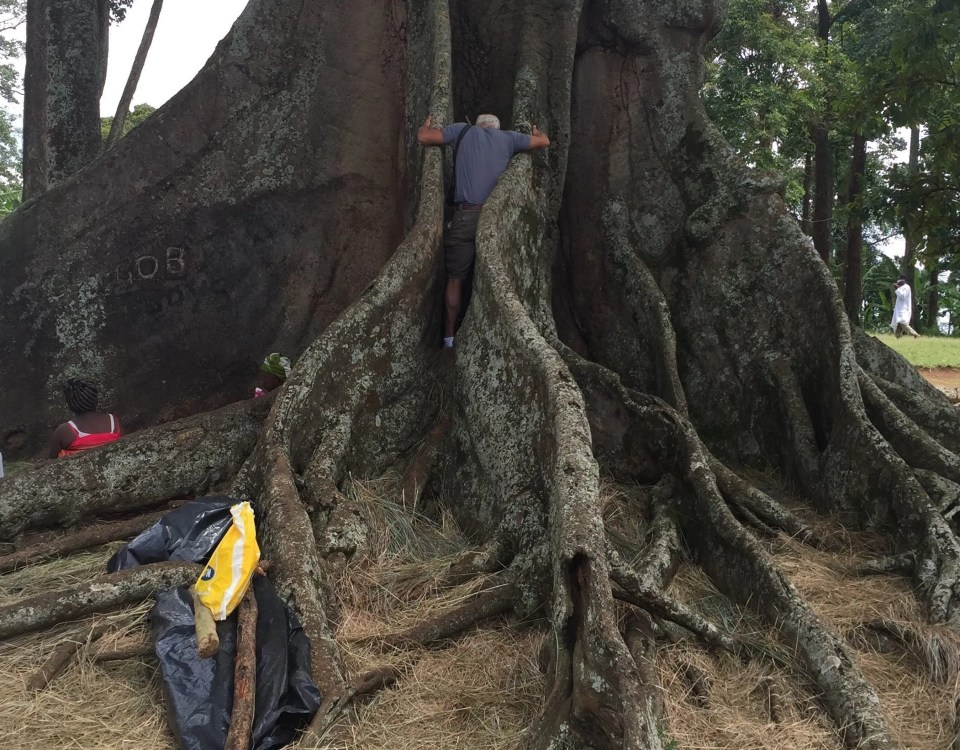 Nakayima Tree cultural and spritual tree in Mubende