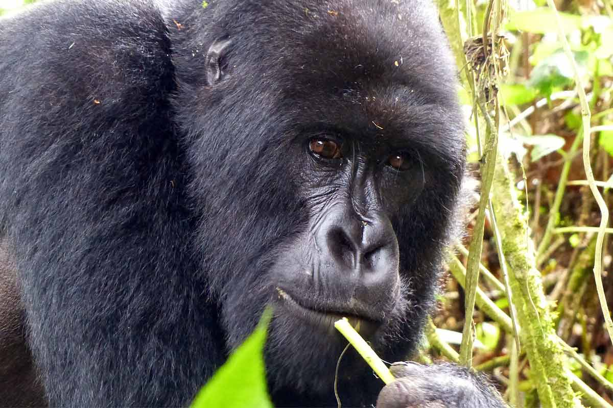 gorilla habituation- 6 Days Gorilla Trekking & Wildlife Safari