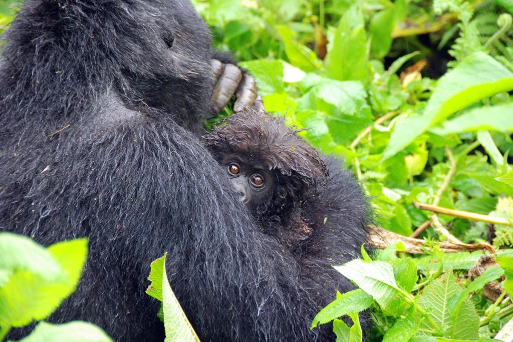 6 Days Gorillas, Chimpanzee & Wildlife Safari