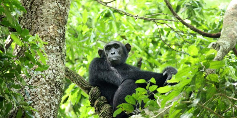 5 Days Chimpanzee & Gorilla Trekking Safari