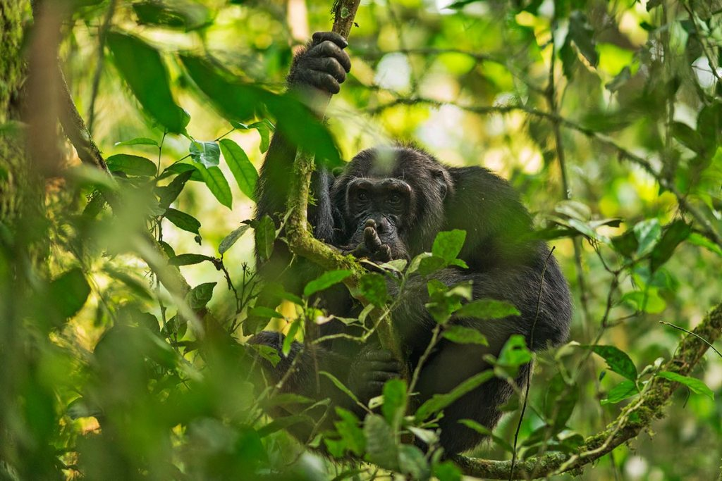 Kibale Chimpanzee Tracking Safari