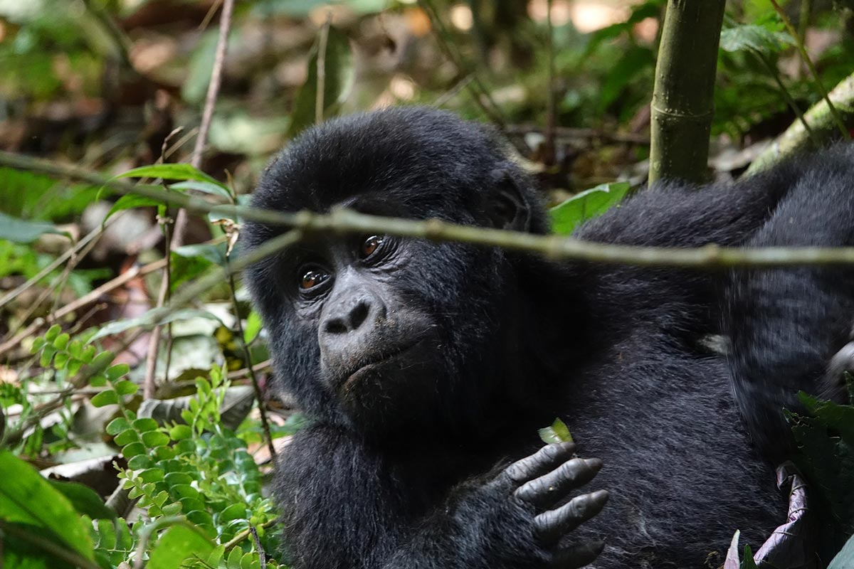Best Time To Trek Gorillas - Gorilla Safaris Uganda - About Us