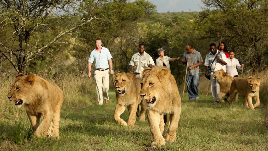 lions-in-akagera-np