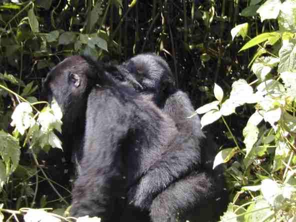 compare gorilla trekking rwanda uganda gorilla tracking tour