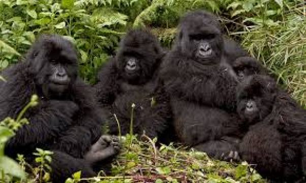 agasha gorilla group 13 gorilla group volcanoes rwanda
