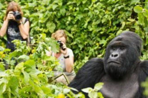 Uganda gorilla habituation experience tours- Bushaho gorilla family nkuringo gorilla families nkuringo group