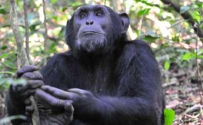 Chimp habituation experience, Kibale Forest