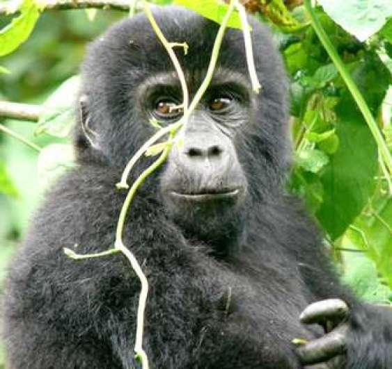 Gorilla Rwanda safari Rwanda Gorilla Tracking/ trek experience with Gorillas and Wildlife Safaris