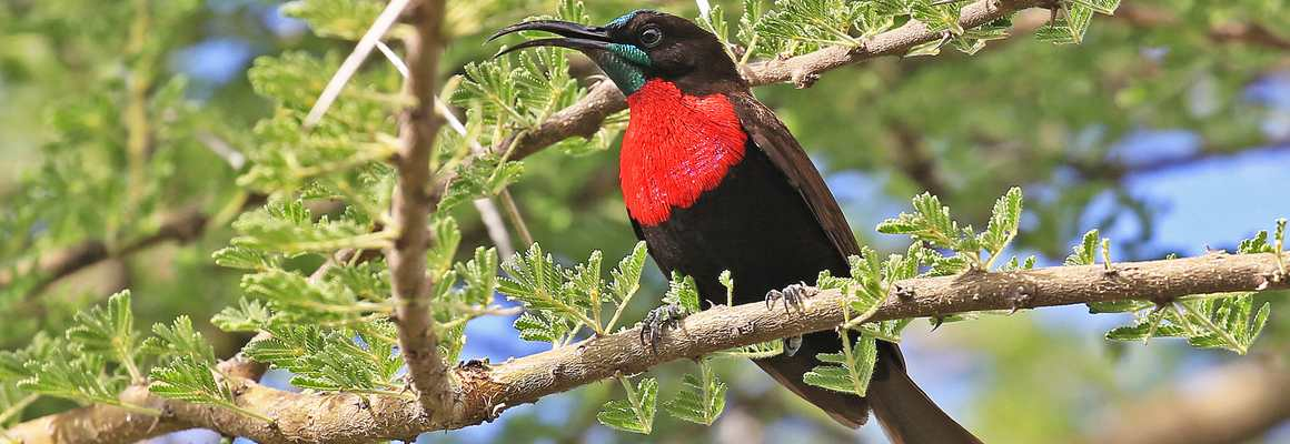 Scarlet chested sunbird, Birdwatching safari