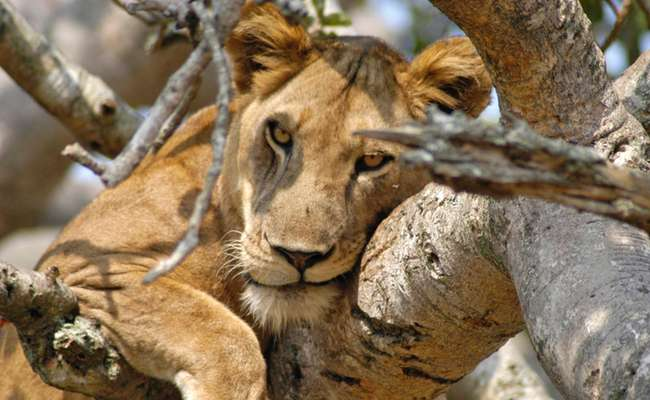 Tree climbing lion, Uganda