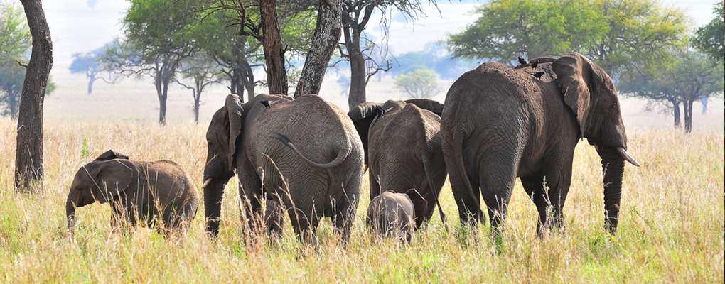 Elephant herd, Uganda fly kidepo safari flying kidepo tour gorillas and wildlife safaris