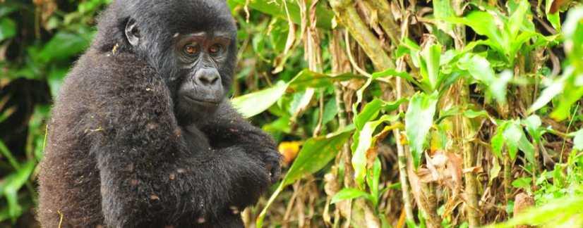 Mountain gorilla, Bwindi, Uganda