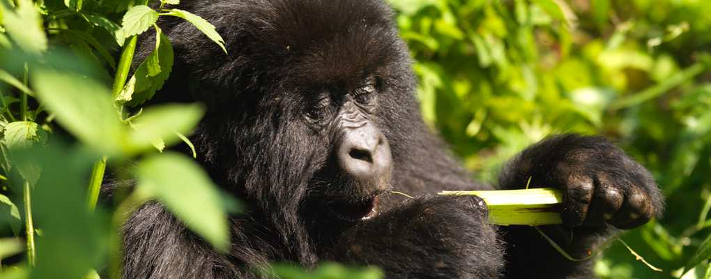 Uganda Chimps, Monkeys Gorilla habituation experiences, primates habituation uganda experiences, golden monkeys habituation experience, uganda gorilla habituation experience tour