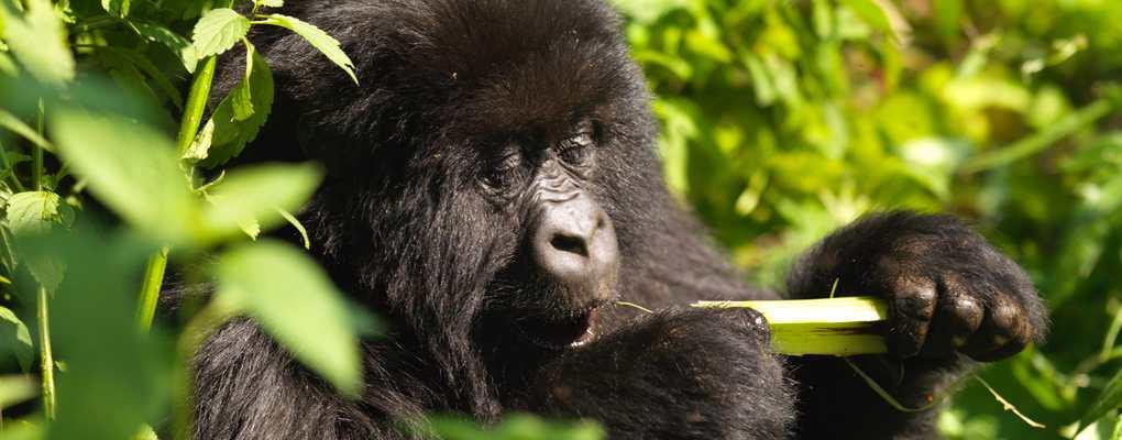 Uganda Chimps, Monkeys Gorilla habituation experiences, primates habituation uganda experiences, golden monkeys habituation experience, uganda gorilla habituation experience tour