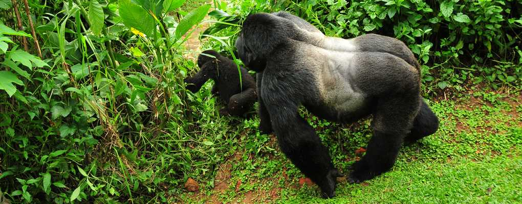 Silverback and young gorilla, Bwindi, Uganda