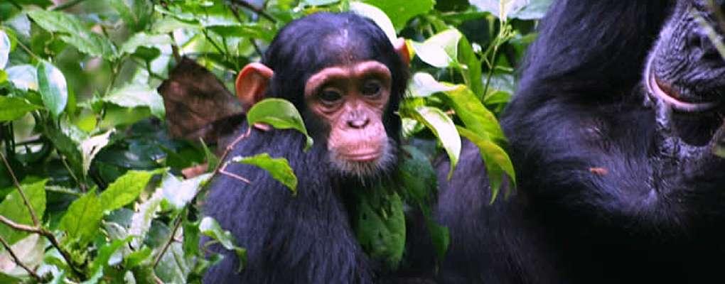 Uganda gorilla Chimpanzee wildlife safari tour, gorilla trek chimps tour Uganda safari primate trek Gorilas and Wildlife Safaris