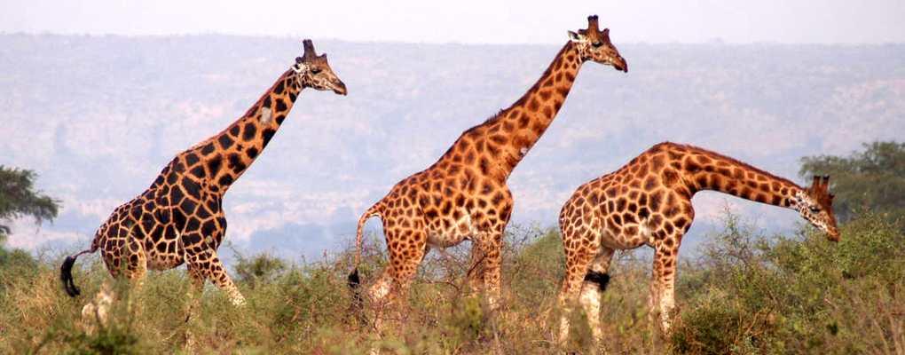 Giraffes, Murchison Falls, Uganda