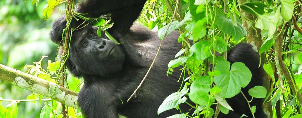 Rushegura mountain gorilla hangin from tree, Bwindi, Uganda