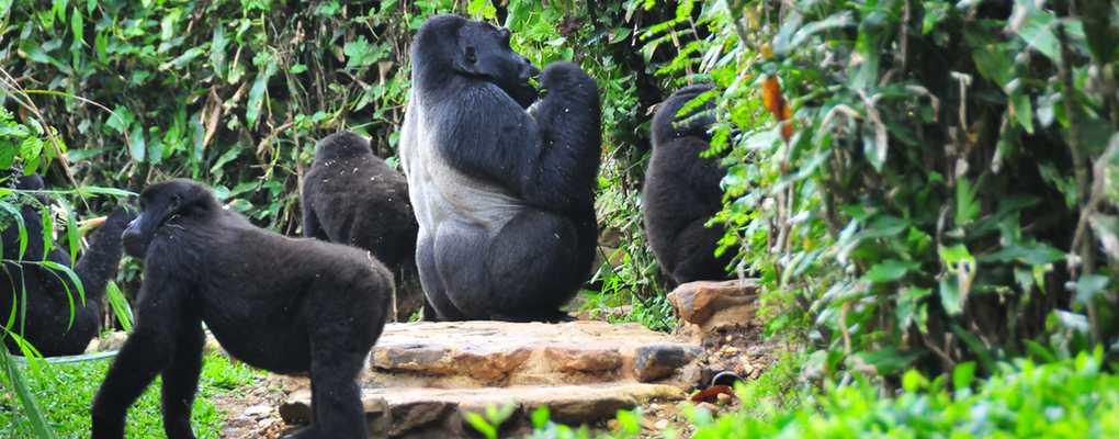 Rushegura family of gorillas, Uganda
