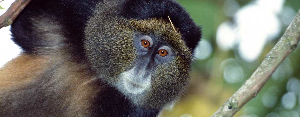 Golden monkeys trekking golden monkeys Mgahinga. Mgahinga Gorilla National Park tourist activities, TOP 10 TOURIST ACTIVITIES in Mgahinga GORILLA, to do Mgahinga gorilla trek Batwa golden monkeys, hiking