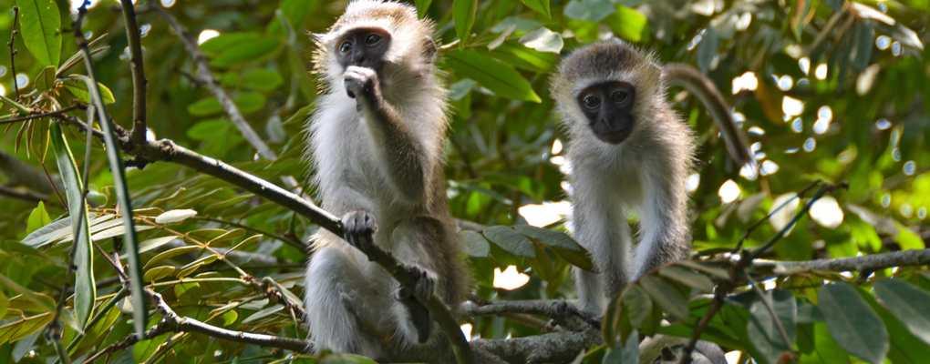 Vervet monkeys, Queen Elizabeth National Park, Uganda
