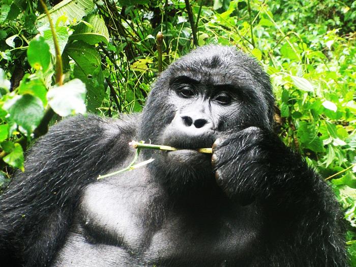 congo gorilla, virunga gorilla trek DRC- gorilla tour virunga- virunga DRC trekking gorilla safari