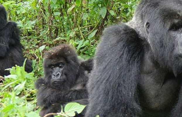 Bwindi gorilla habituation experience tour