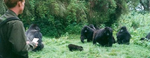 gorilla habituation experience tour uganda chimp habituation tour safari