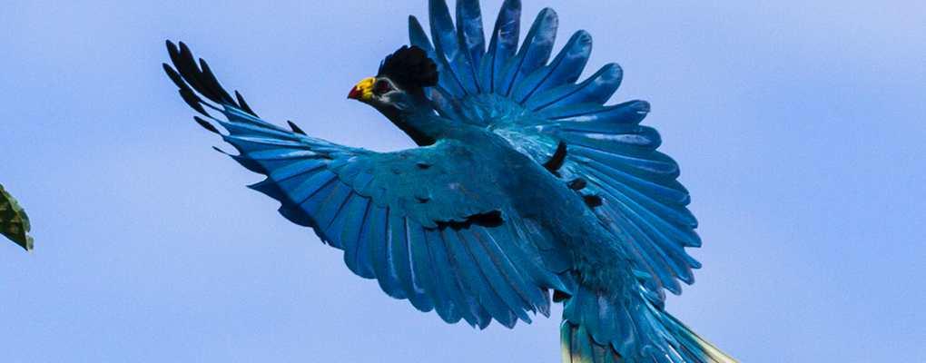 Great blue turaco, Uganda