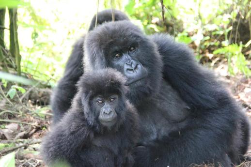 Uganda gorilla trek tour - tracking mountain gorillas