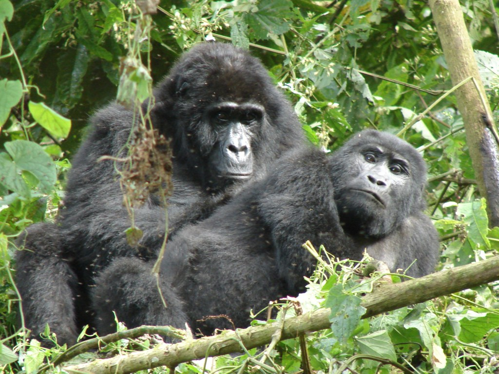 Uganda gorilla safari, Uganda gorilla tour - seeing mountain gorillas in Biwindi