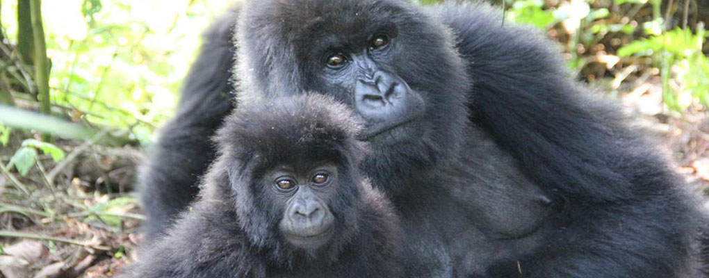 Uganda gorilla habituation tour