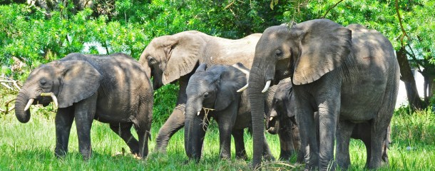 Uganda safari elephants in Queen Elizabeth National park