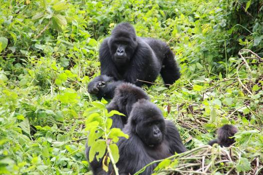 A mountain gorilla family in Bwindi Impenetrable National Park