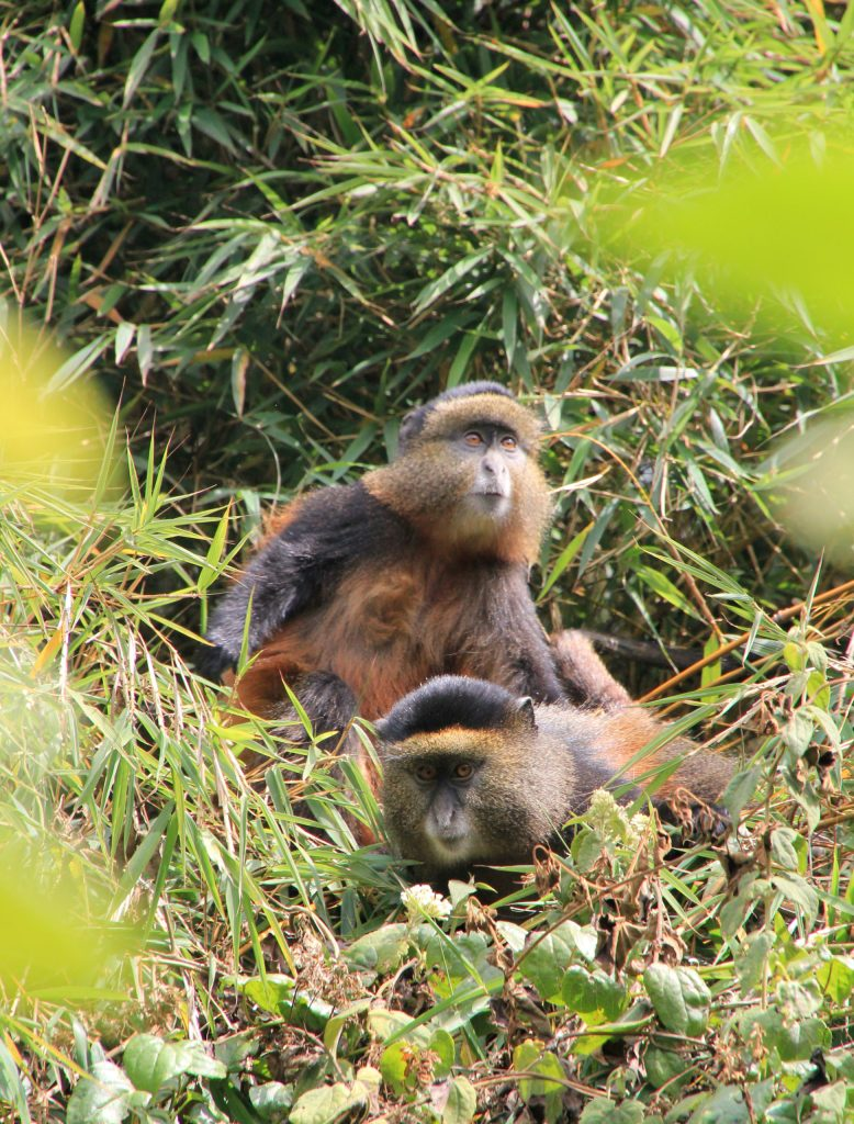 Golden-Monkeys-Gorilals-and-Wildlife-Safaris